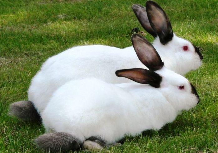 Кролики калифорнийской породы