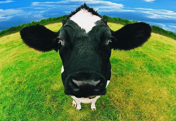 Здоровая корова