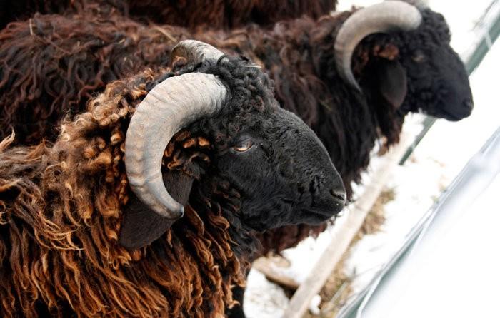 Овцы черной породы