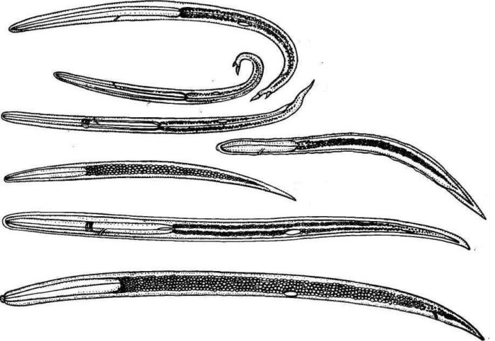 Dictyocaulus viviparus