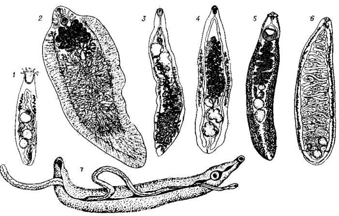 Полный цикл Dicrocoelium lanceatum