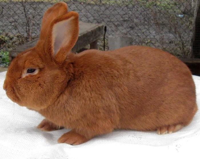 Кролики рыжего окраса
