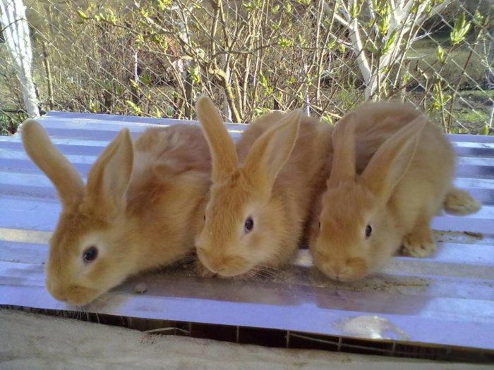 Крольчат отсаживают на 28-й день жизни