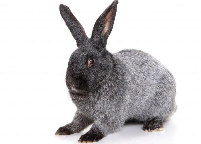 Внешний вид кролика породы Полтавское Серебро