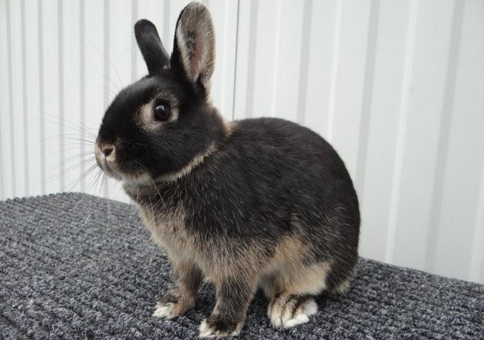 Карликовый голландский кролик