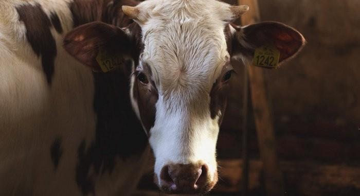 Корова на карантине