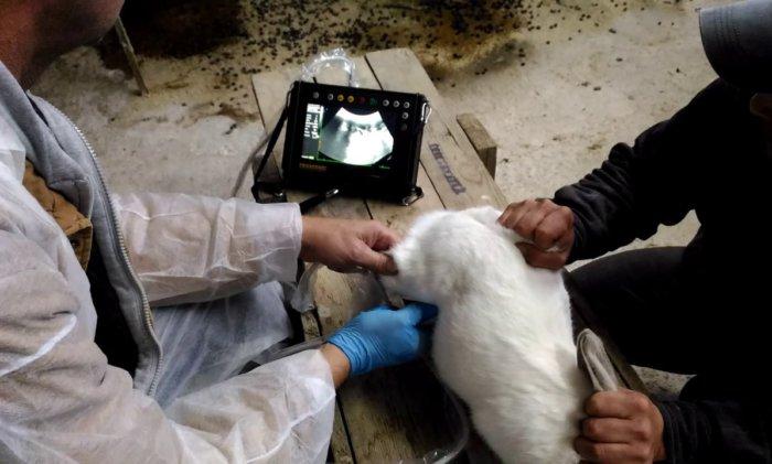 Определение беременности крольчихи