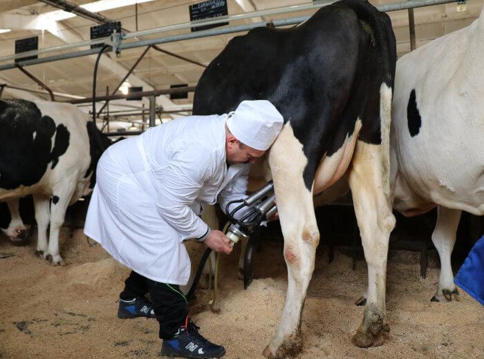 Техника доения коров аппаратным методом