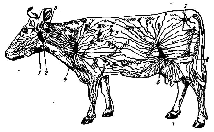 Схема лимфоузлов коровы