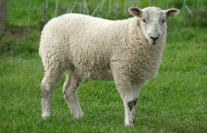 Беременная овца ведет себя спокойней обычного