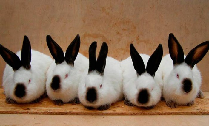 Крольчихи отличаются высокой продуктивностью