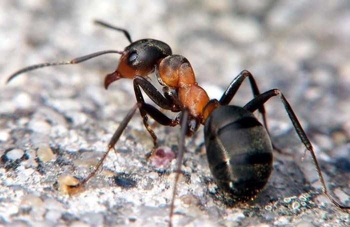 В стадии метацеркария гельминт может зимовать в теле муравья