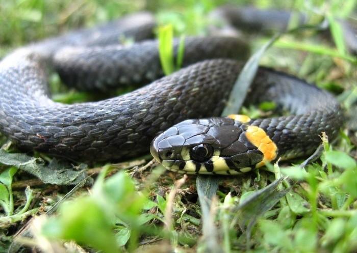 Змея на лугу