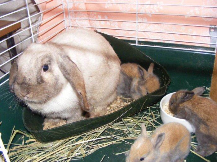 Обучение кролика методом примера взрослого питомца
