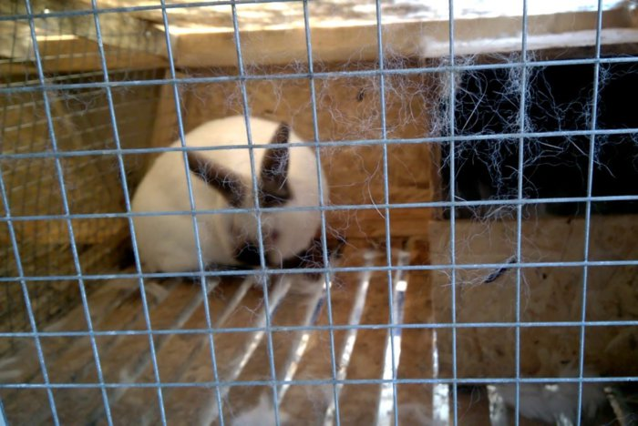 Крольчихи могут оказаться от потомства
