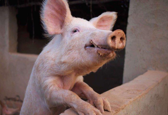 Истощение свиноматки
