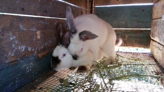 После случки самочку сразу отсаживают от крола
