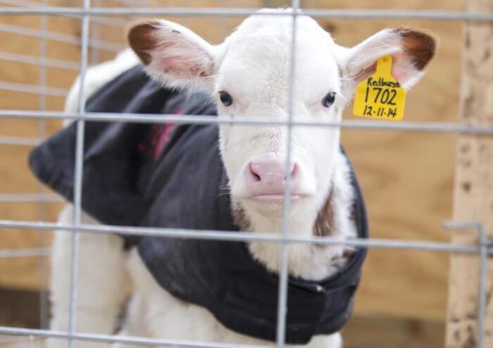 Больной теленок на карантине