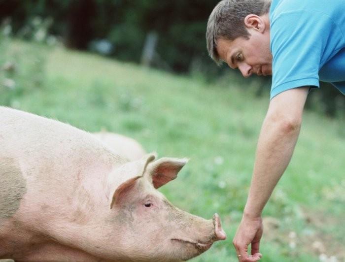 Закупорка пищевода у свиньи