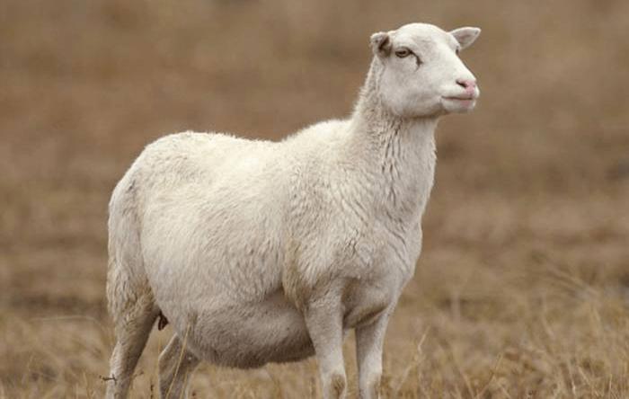 Овца в период беременности