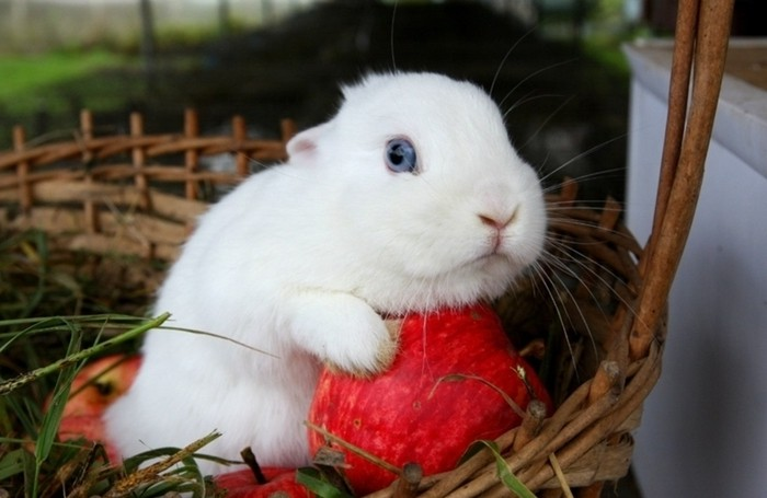 Яблоко как поощрение для кролика