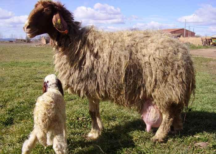 Отек вымени у овцы после окота