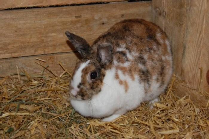 Метеоризм у кролика
