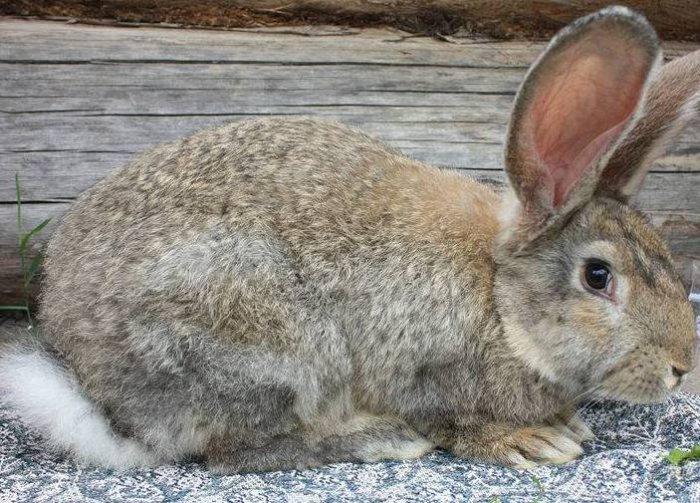 Кролик мясной породы