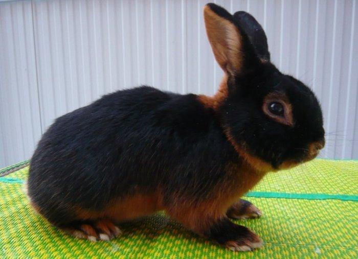 Порода чёрно-огненный кролик