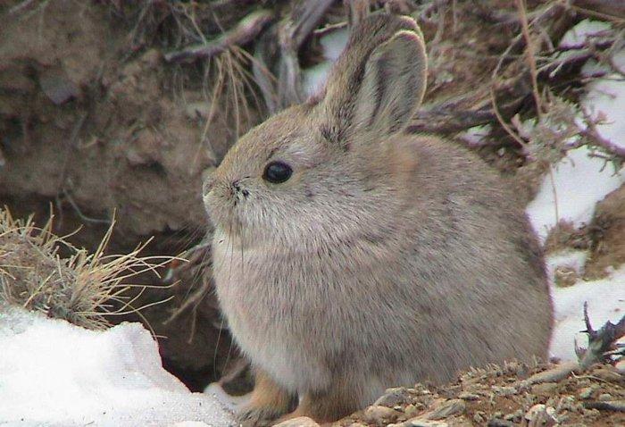 Кролик породы пигмей