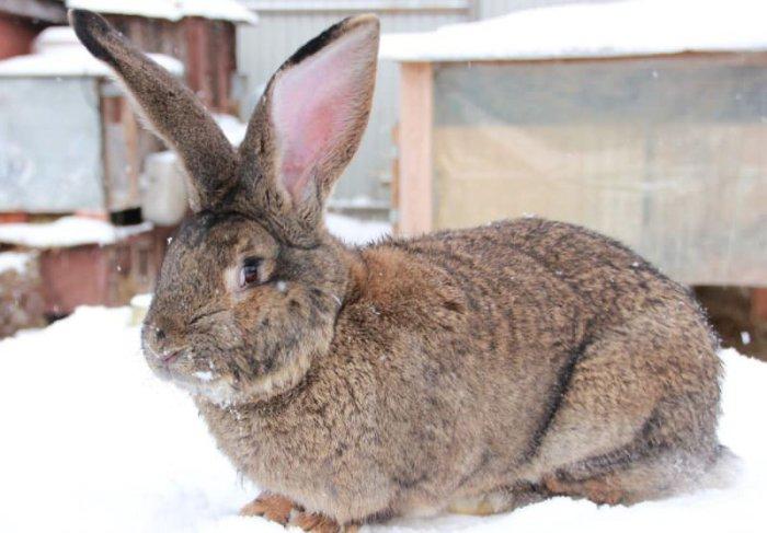 Крупная порода кроликов