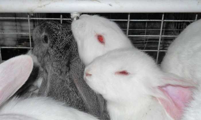 Ниппельная поилка для кроликов