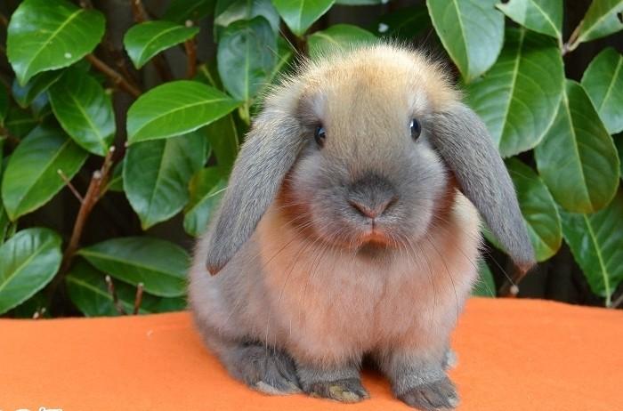 Порода кроликов Вислоухий баран