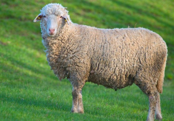 Овцы прекос достаточно выносливы