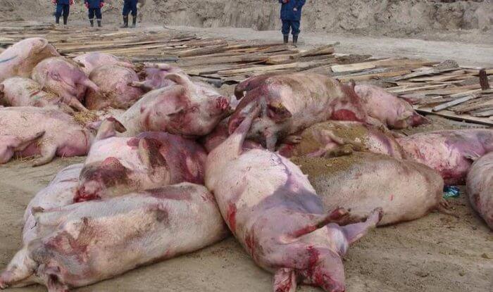 Падеж свиней