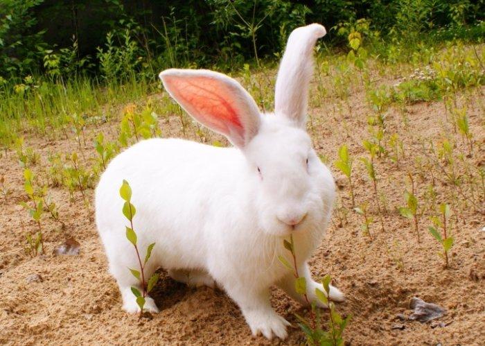 Порода кроликов бельгийский великан