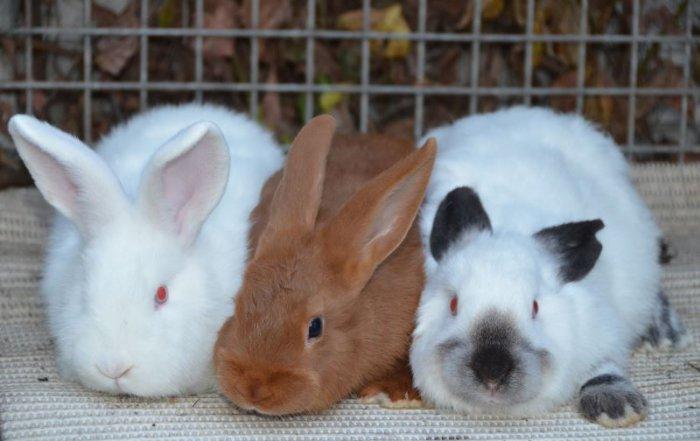 Падение ушек у кролика