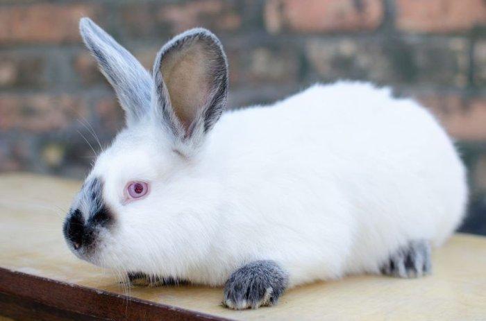 Разновидности кролика Хиплус