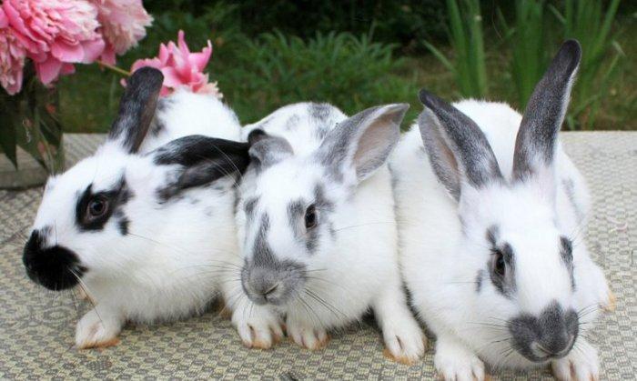 Описание кроликов породы Бабочка