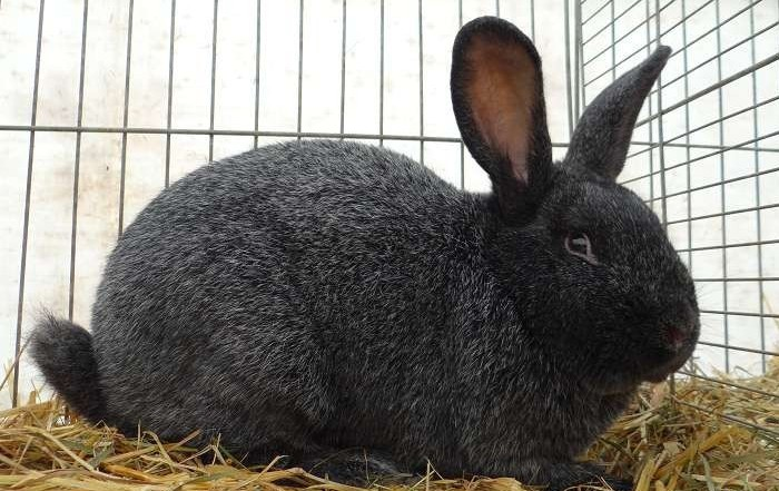 Кролик шипит