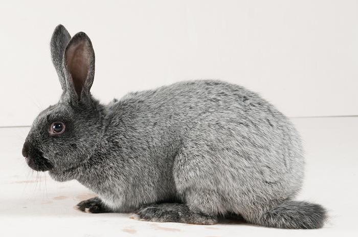 Кролик после скрещивания вырастает с большей продуктивностью