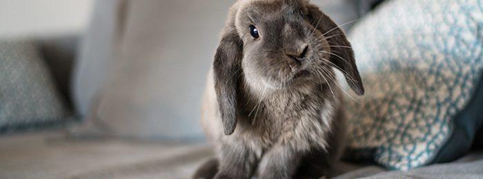 Кролик после вакцинации от кокцидиоза