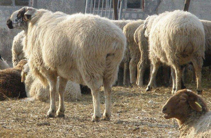 Курдючные овцы и бараны
