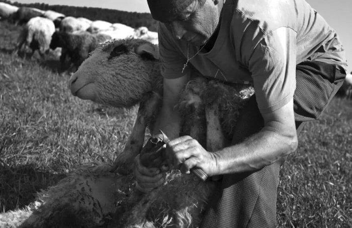 Копытная гниль у овец