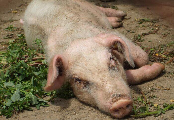 Паралич задних ног у свиней