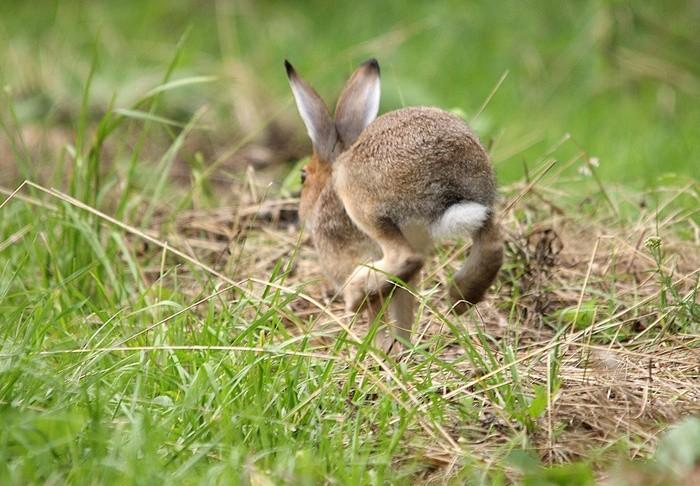 Зайцы сразу же после появления убегают