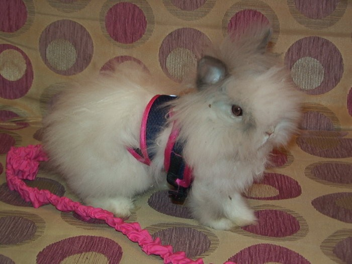 Шлейка на кролике