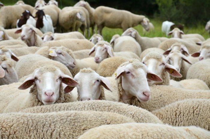 Западно-сибирские овцы