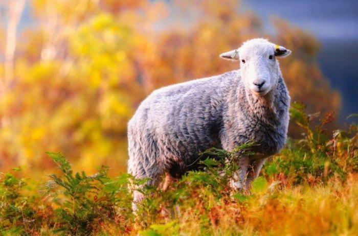 Овца перед случкой