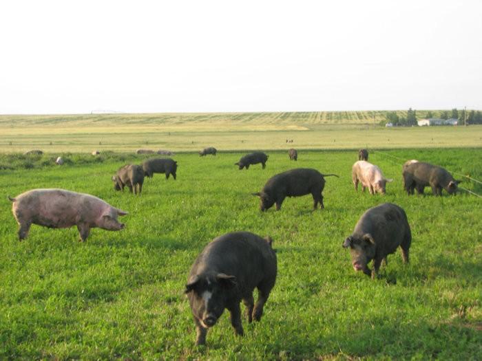 Свободно-выгульное содержание свиней